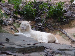 One of the many white tigers - some of the few left in the world